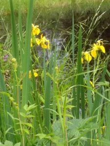 Lilien im Möhrlesee